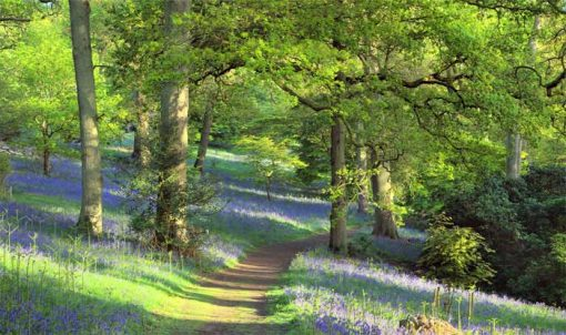 bluebell wood backdrop