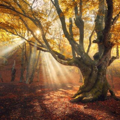 Autumn Sun Rays through old tree