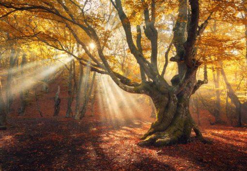 Autumn Sun Rays through old tree
