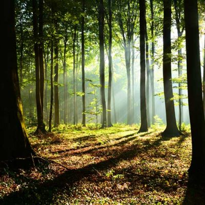 forest-rays
