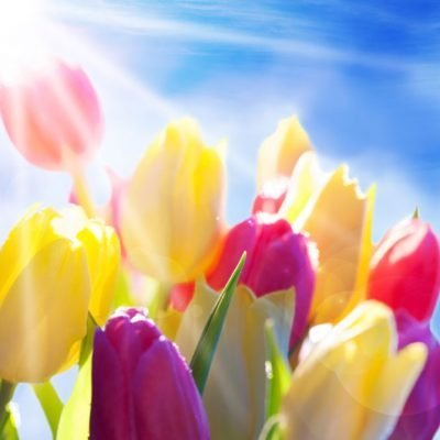 Spring-tulips-sunshine-backdrop
