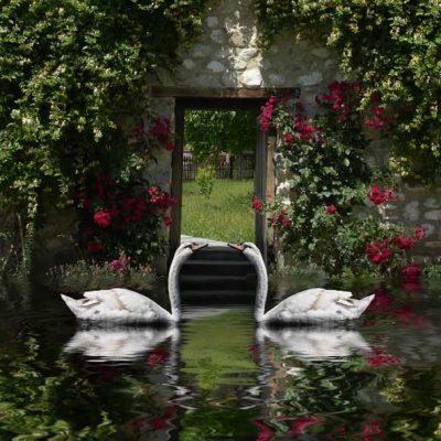swans-on-lake romantic backdrop